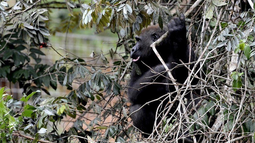 Gorilla at La Lékédi Parc, Gabon (c) Nil Rahola (IRD/CIRMF)