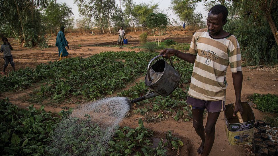 A man watering vegetables in Mali