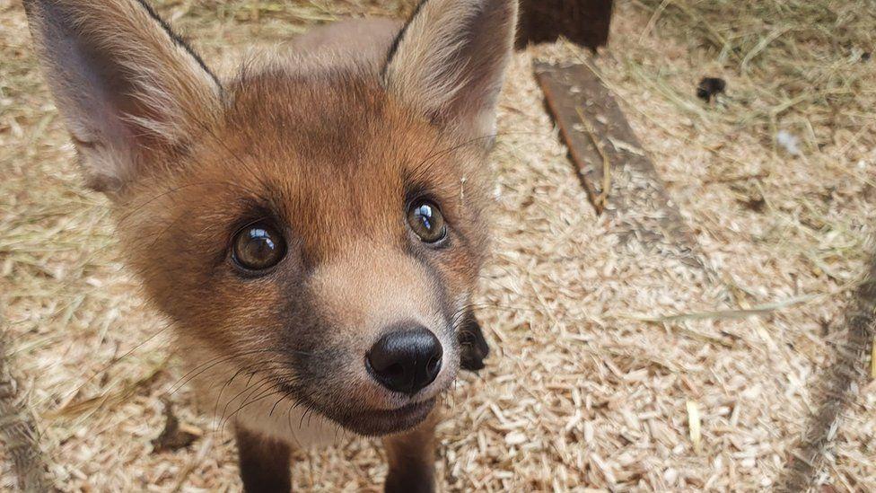 Cute juvenile fox with big eyes looking up at the camera