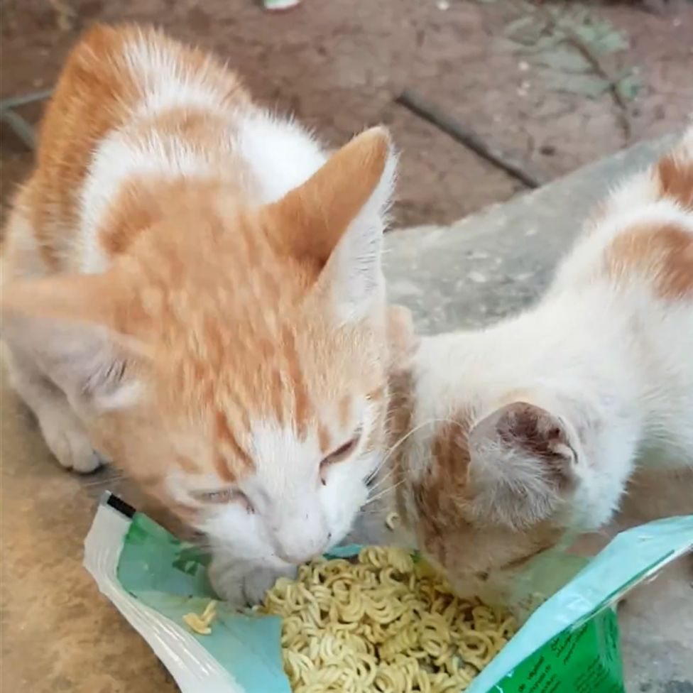 Cats eating noodles