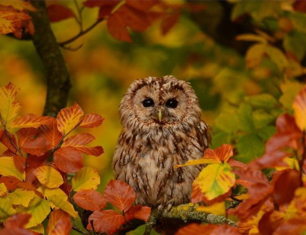 An Owl in an autumnal tree