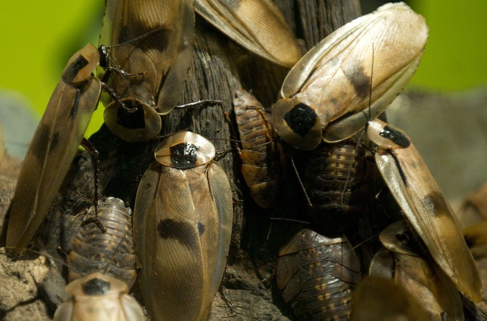 Group of giant cockroaches