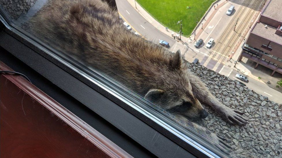 Photograph of raccoon stretched out on ledge, with sharp drop pictured below