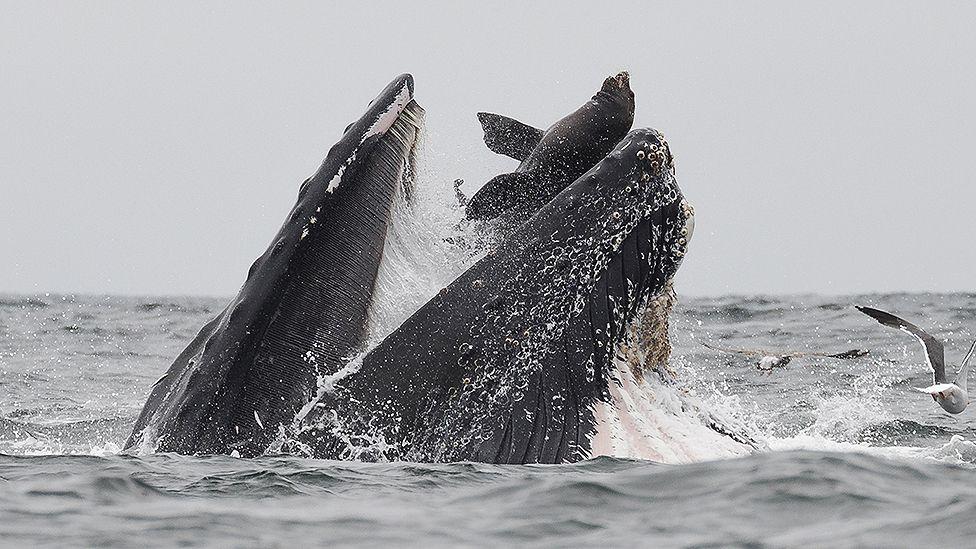 Морской лев в пасти у горбатого кита