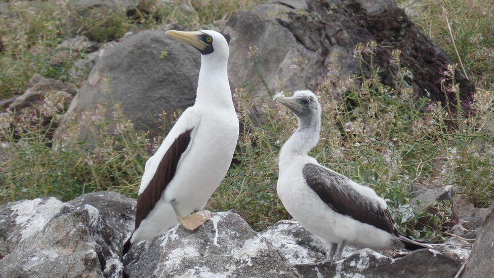 Birdlife on Redonda