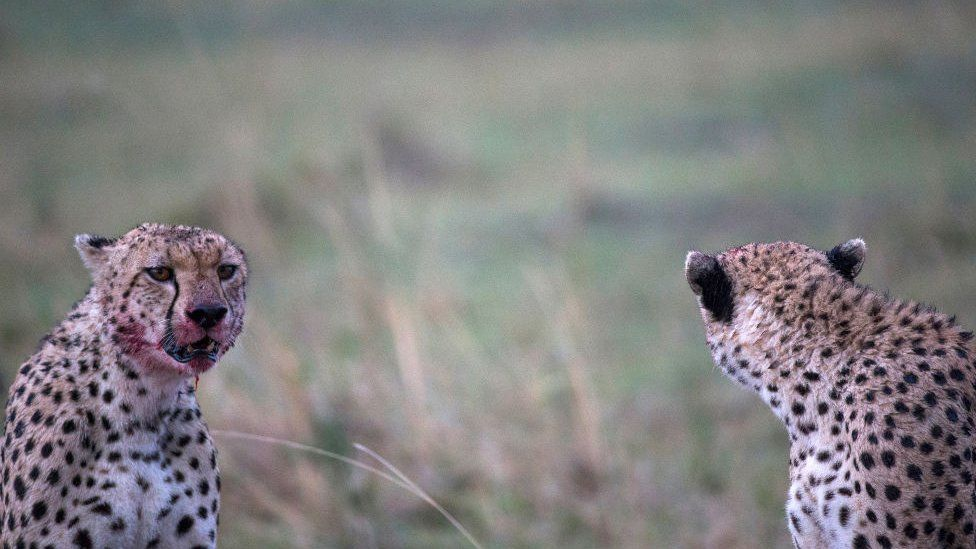 Some cheetahs after a kill