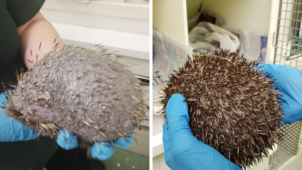 Before and after pictures of the hedgehog