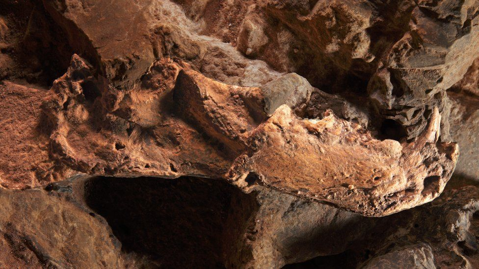 Sabre toothed cat mandible from Sterkfontein caves, South Africa