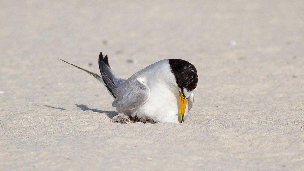 A least tern tends to a newly hatched chick in the sand