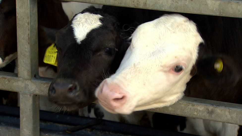 Good cattle handling facilities can prevent accidents