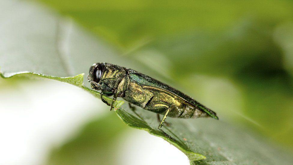 Emerald ash borer on a leaf