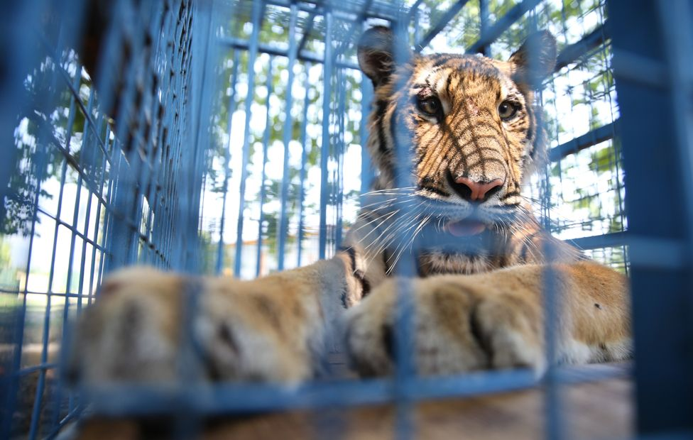 A rescued tiger from the Magic Zoo, in transit through Turkey