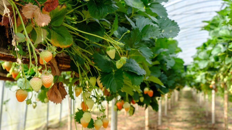 Strawberry plants in a polytunnel
