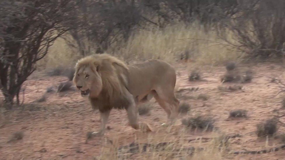lion walking through the bush