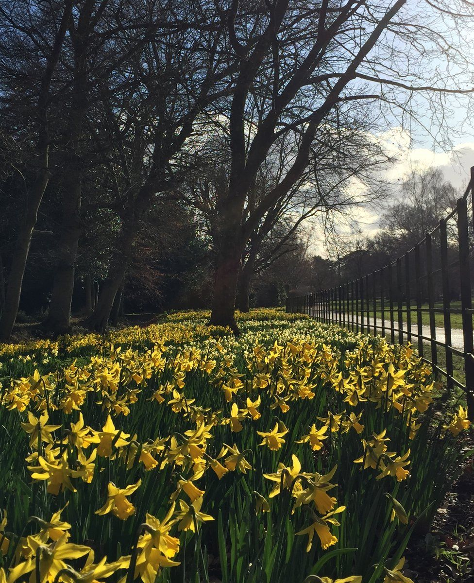 Daffodils in bloom in a park