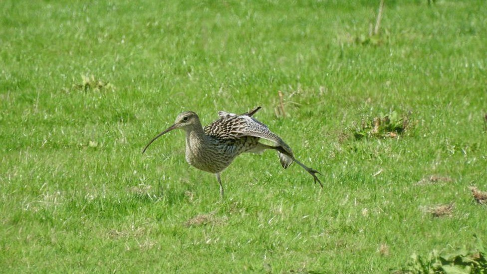 Curlew at Waterstock flood meadows