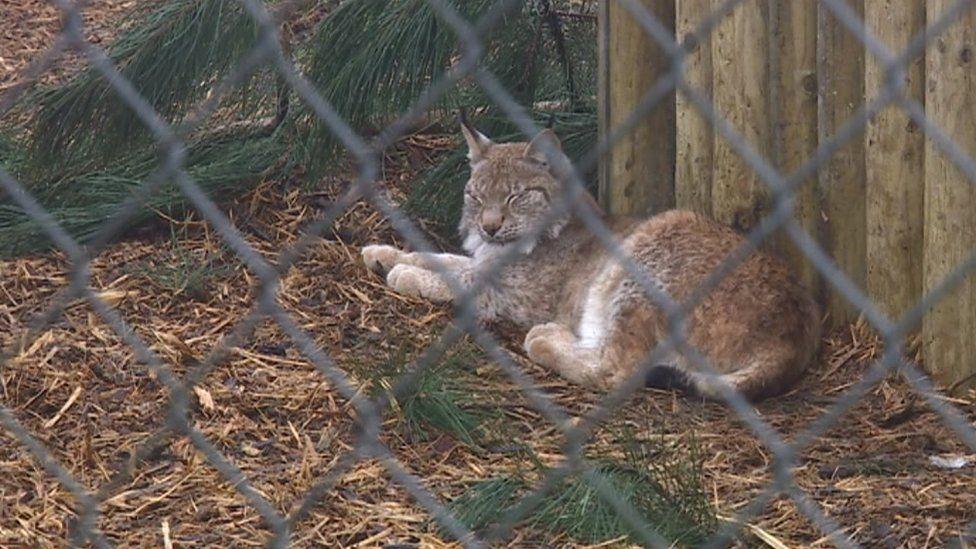 Lynx at Borth Zoo