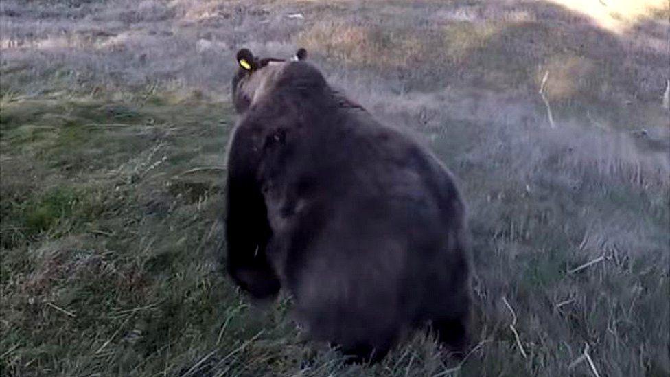 Espanha entra em alerta após urso-pardo 'francês' matar 8 ovelhas