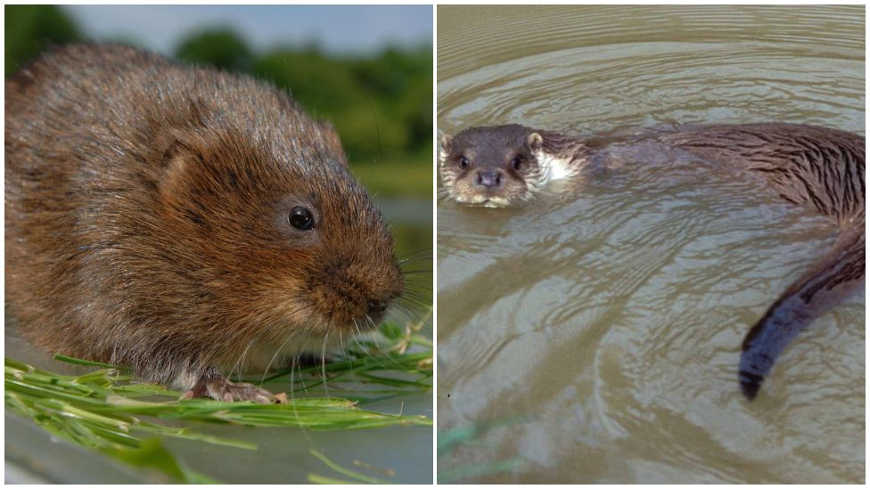 A water vole and an otter