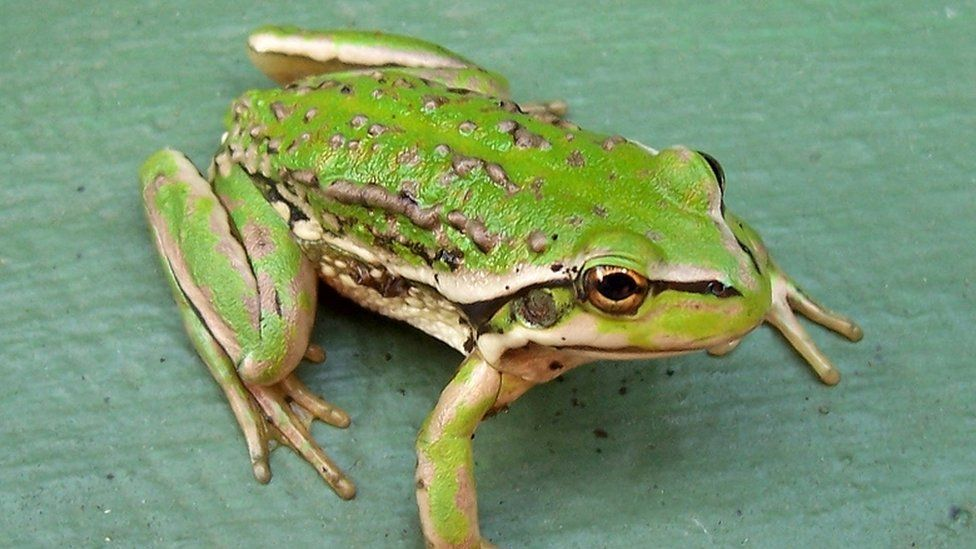 Warty swamp frog