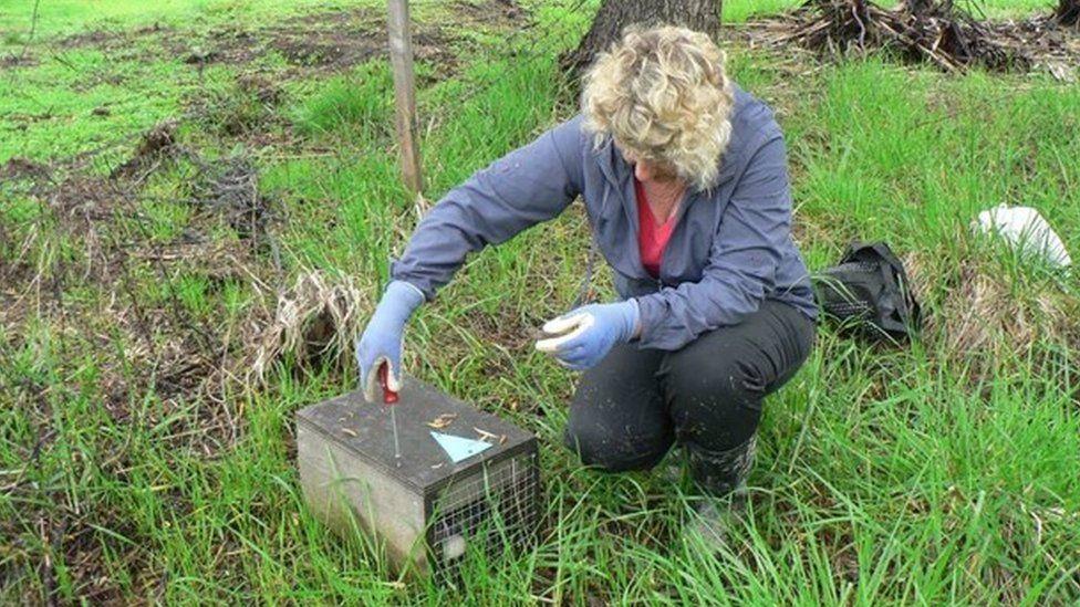 A conservationist lays a predator trap