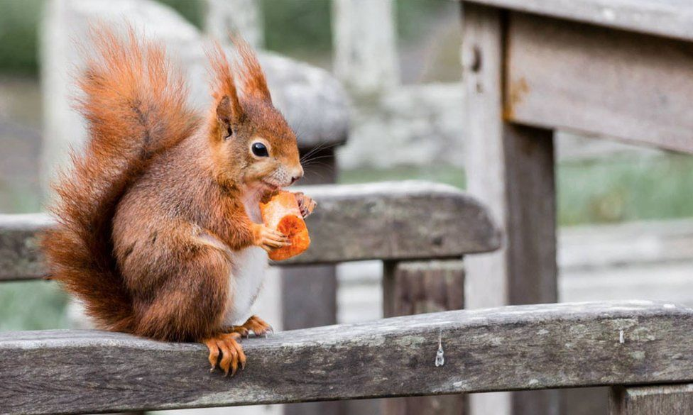 red squirrel on a chair