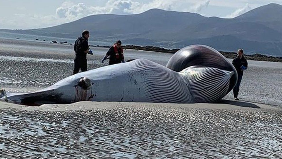 Minke whale washed up on Tyrella beach in County Down