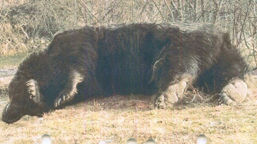 Arthur the bear after he was shot