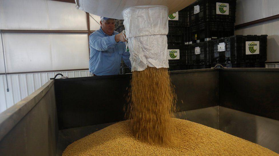 Soybeans coming thru silo