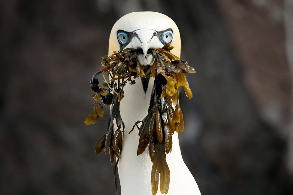 A northern gannet picks up seaweed on Bass Rock in the Firth of Forth where thousands of the sea birds are gathering nest material as they prepare for the new breeding season, forming the largest single-island colony of gannets in the world.