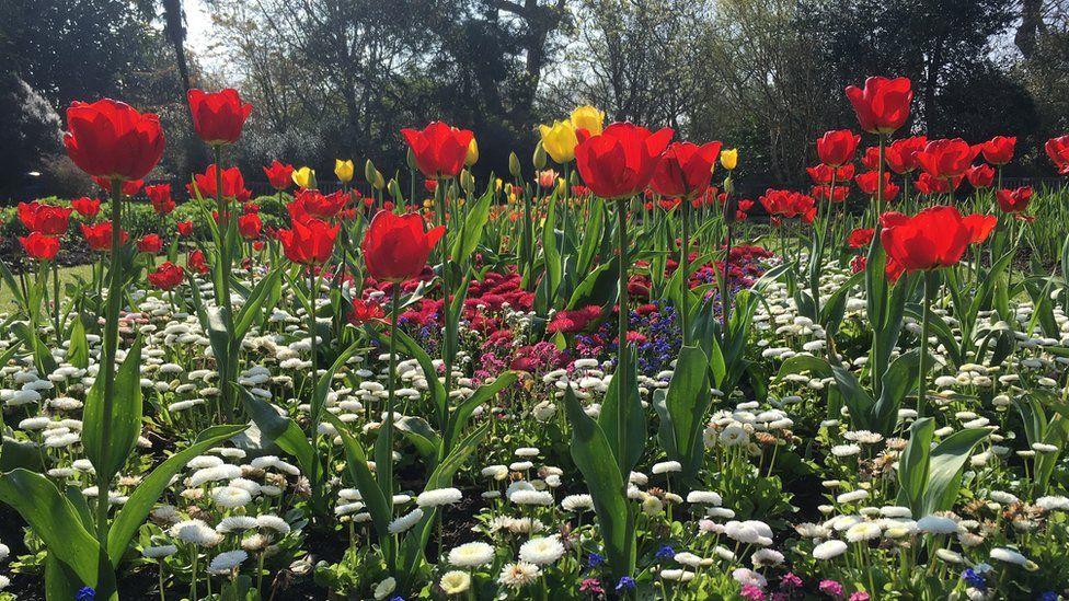 Tulips in Singleton Park