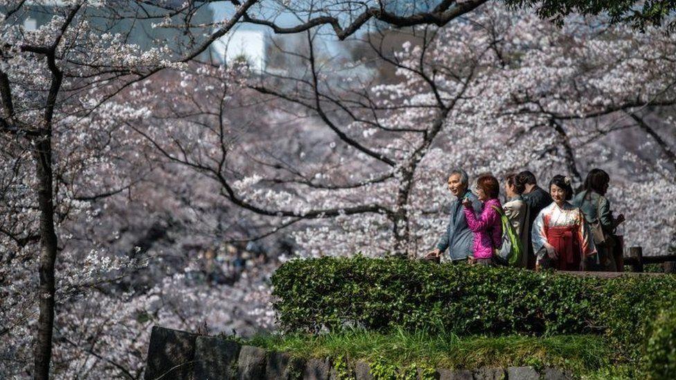 People view cherry blossom near Chidorigafuchi Moat - 25 March 2018
