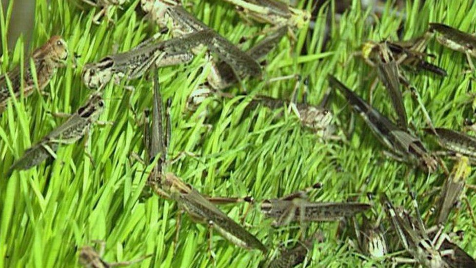 A collection of locusts in the grass
