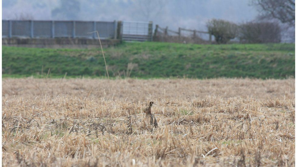 Hare in Miscanthus field after cutting