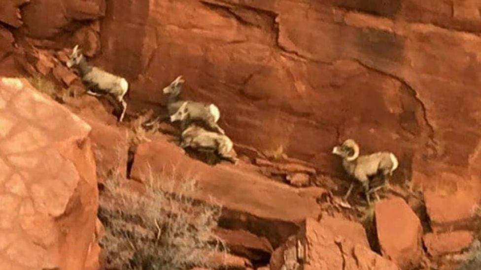 A picture of big horn sheep