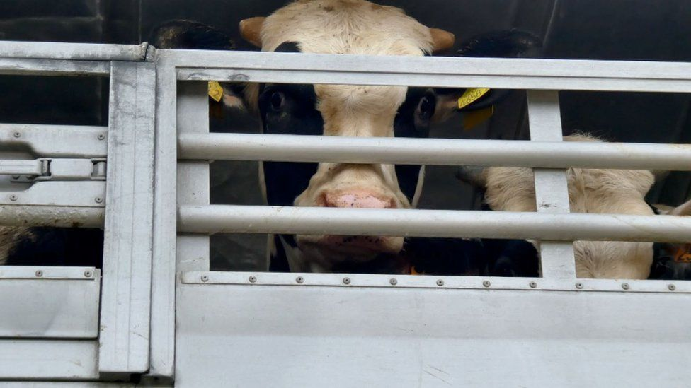 A UK bullock on a truck arriving in the port of Cartagena, it would later be loaded onto a vessel destined for Libya