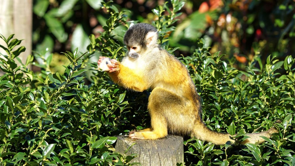 A squirrel monkey holding an ice lolly