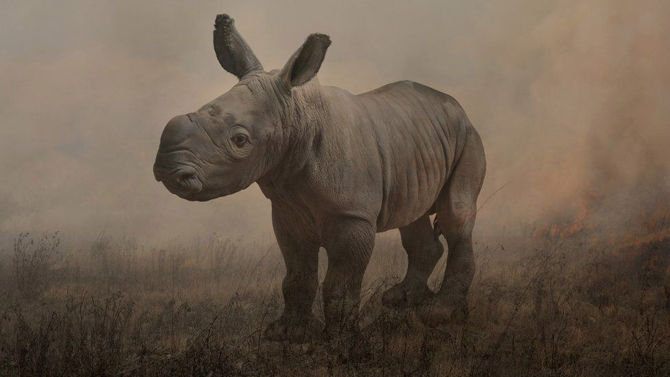 Photograph of a rare white rhino in a field named Alan by Rory Carnegie in 2013