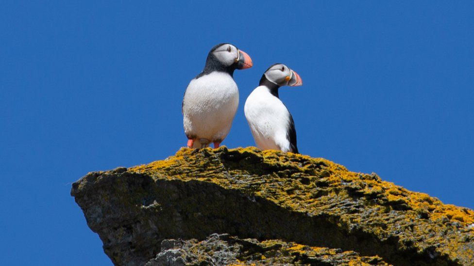 A puffin standing next to a decoy puffin