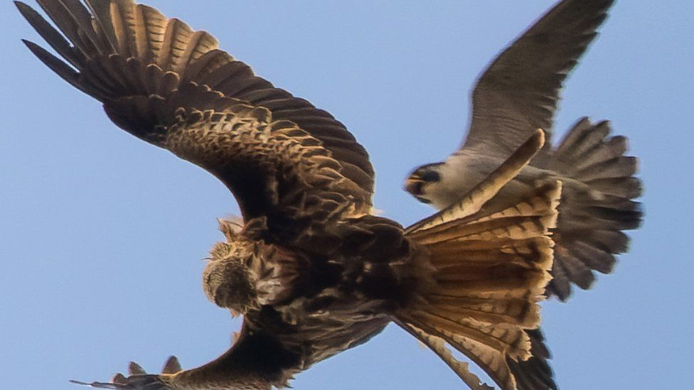 Peregrine falcon attacking red kite
