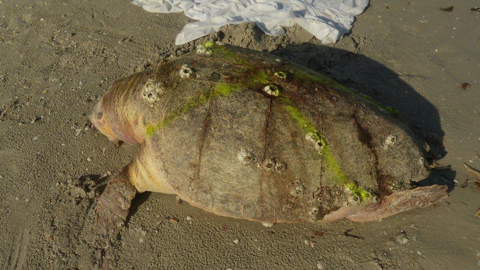 Stranded turtle on beach
