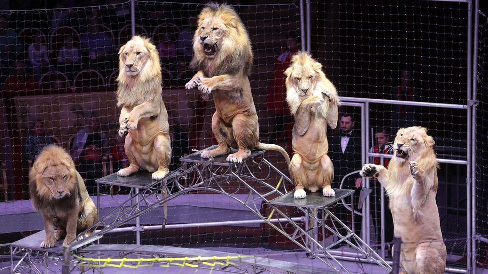 Lions in St Petersburg's Ciniselli Circus, 2018