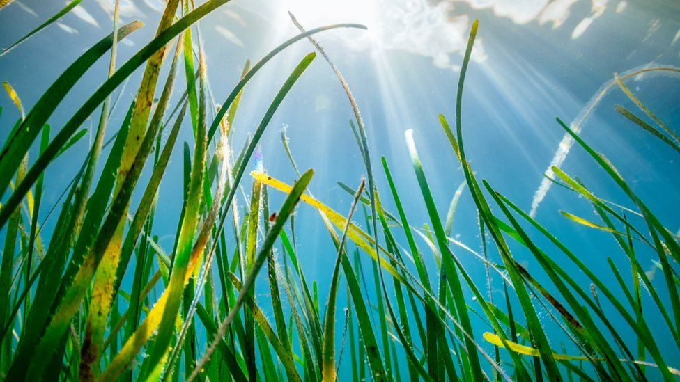 A seagrass meadow