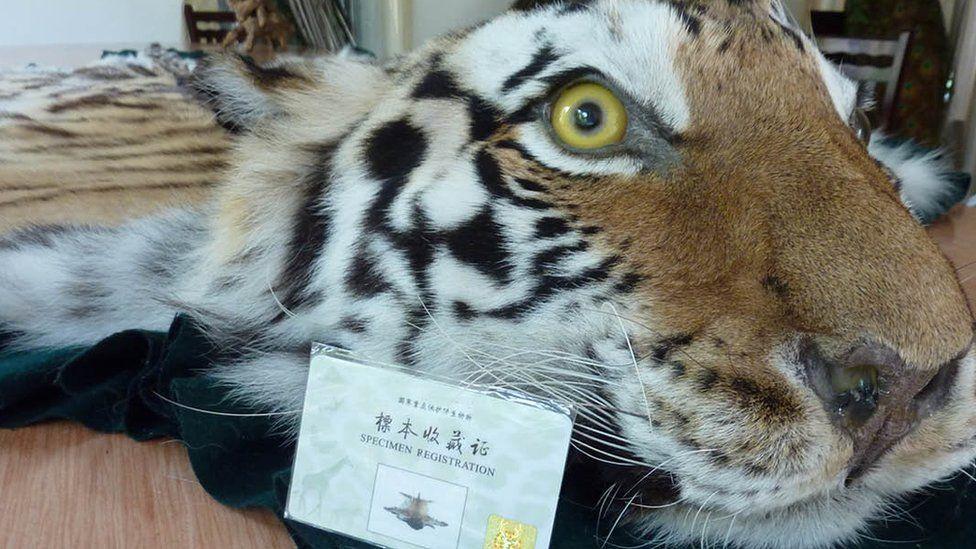 Alfombra de piel de tigre junto con un permiso del gobierno ofrecido en Xiafeng Animal Taxidermy en An Hui of China