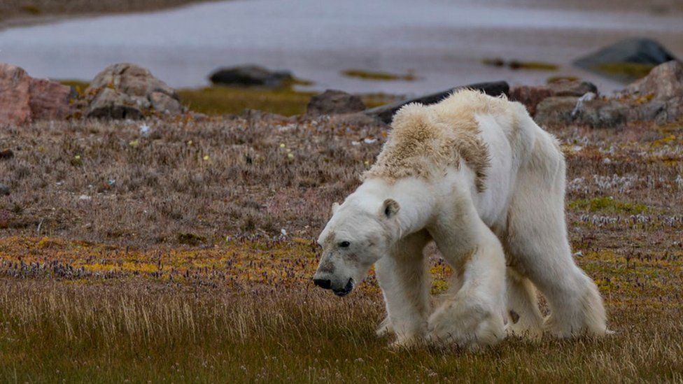 A starving polar bear in northern Canada