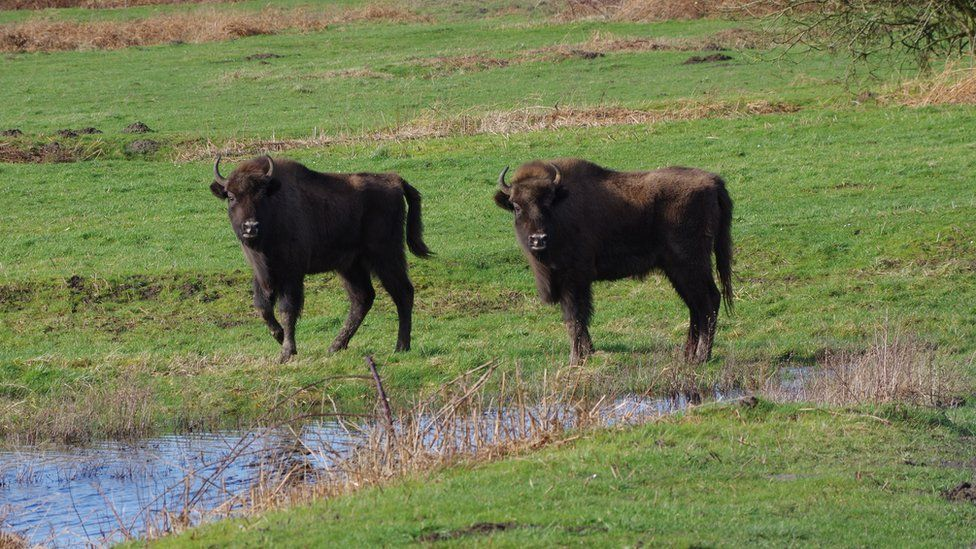 Ancient steppe bison once roamed Britain