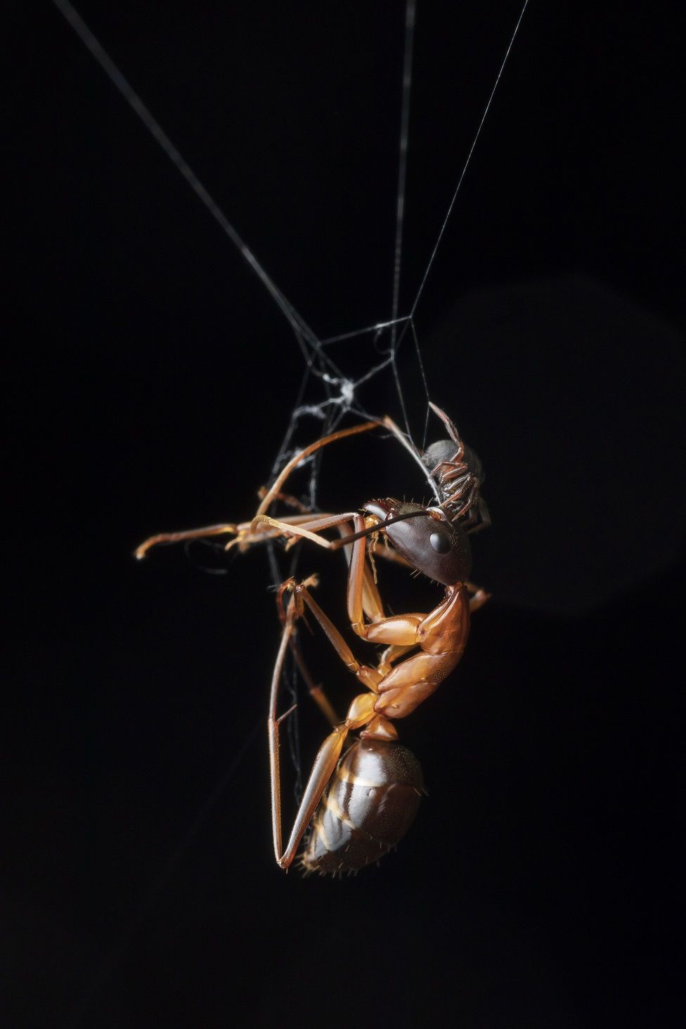 A spider with an ant in a web