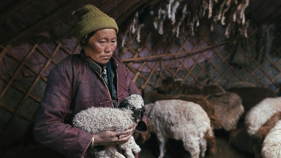 Picture of Mongolian herder Bayankhand Myagmar with animals inside her ger from IFRC