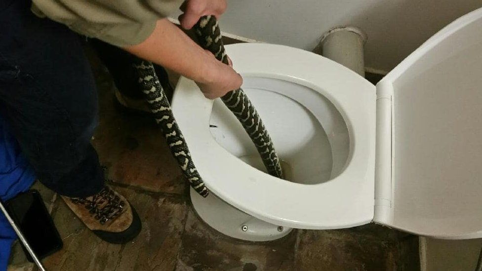 A professional snake handler pulling the snake out of the toilet