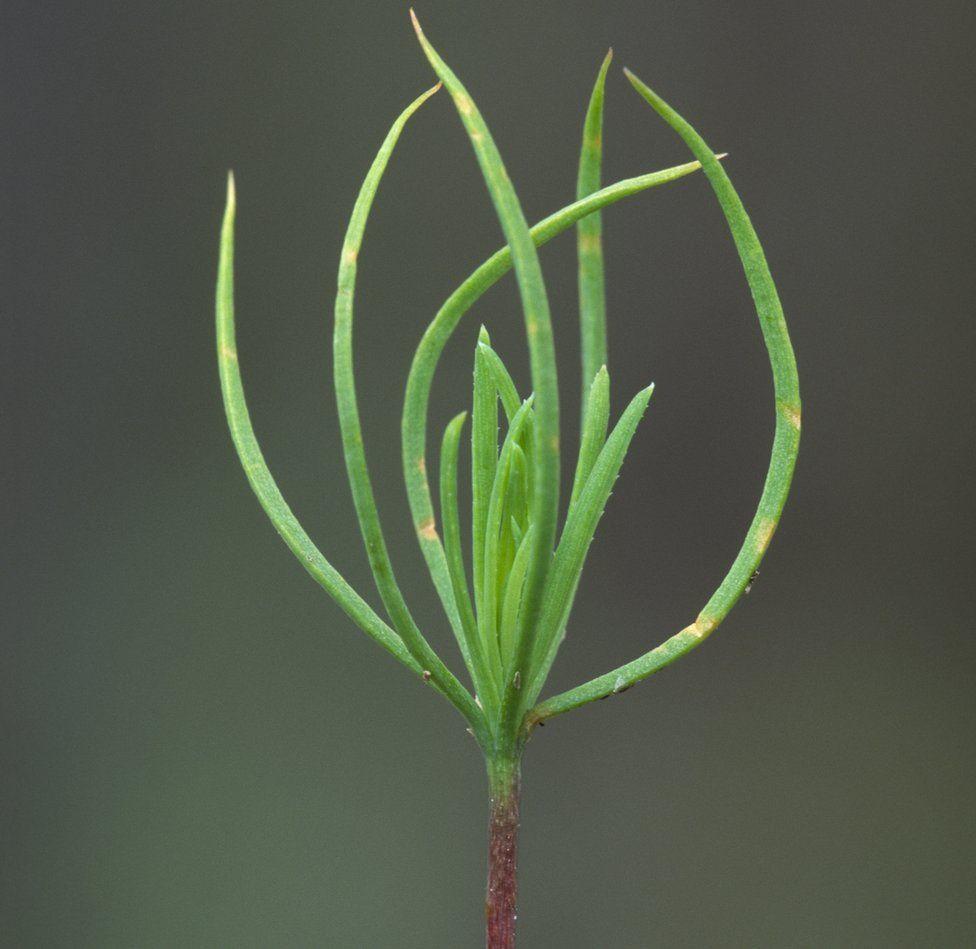 Scots pine seedling